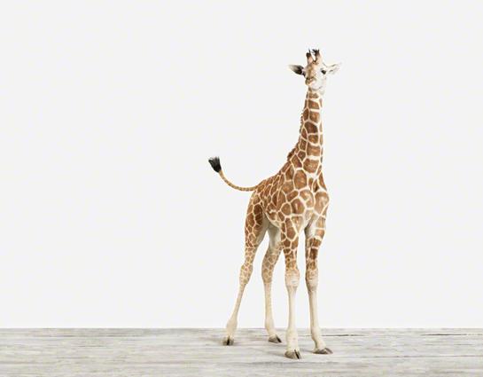 Baby%20Giraffe_4_Baby%20Animal%20Photography%20Prints