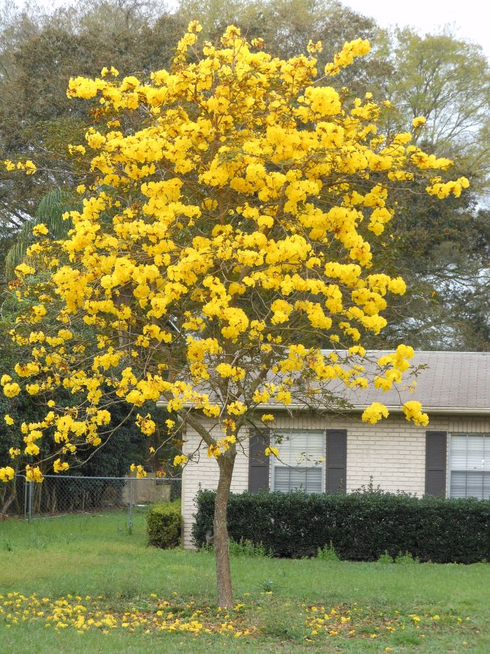 Flowers bevanddara page 2 - Trees that bloom yellow flowers ...